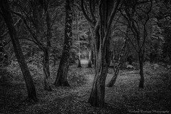 Wood Light (Chalky666) Tags: tree trees wood forest silverbirch beech common southdowns westsussex mono