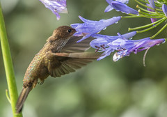 Bronzy Inca hummingbird sipping nectar from African lily (PriscillaBurcher) Tags: trochilidae colibr hummingbird colibresdecolombia hummingbirdsfromcolombia coeligenacoeligena bronzyinca colibrincabronceado picaflor chupaflor dsc5765