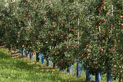 ckuchem-2194 (christine_kuchem) Tags: apfelplantage biolandwirtschaft erntezeit landbau landwirtschaft naturhof obstplantage biologisch obstbã¤ume reif ãpfel