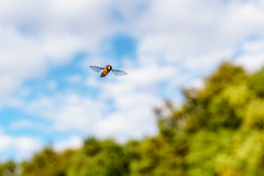 Fly in flight (Martin von Ottersen) Tags: fly hoverfly schwebfliege episyrphusbalteatus insect sel24f18z