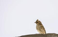 Pajarito (Naxxox24) Tags: aves ave observaciondeaves nikond3300 nikon 70300mm nublado pajaro pajaros volar fotoschile fotografia fotografiando birds animals animal fauna natura plumas aire airelibre observando vuelo alas pluma cielo