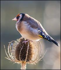 Goldfinch at Newport Wetlands (-terry-) Tags: bird goldfinch light rspb newportwetlands
