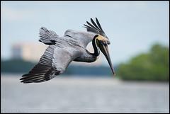 Brown Pelican @ Sanibel Island, Florida (Nikographer [Jon]) Tags: sanibelisland florida brownpelican 20160330d810037667 nikon d810 bird birds