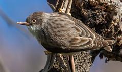Varied Sittella. Daphoenositta chrysoptera-6897 (rawshorty) Tags: rawshorty birds canberra australia act campbell