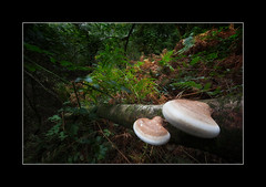 Birch Polypore tree funghi (tkimages2011) Tags: tree fungi birch polypore piptoporus betulinus sthelens merseyside sankey valley fern green foliage autumn mushroom