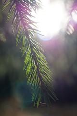 barr i RAD (aggeji) Tags: fs161016 rad fotosondag outdoor piceaabies
