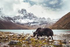 Land of the Yak (Federico Ravassard) Tags: nepal tibet yak everest khumbu gokyo vsco canon 6d travel himalayas