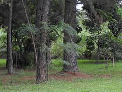 DSCN0306 (apacheizabel) Tags: lago pssaros rvores cu pinhas tronco espelho dgua queroquero rolinhas banco no bosque famlia de galinhas passeio parque centro aeroespacial da aeronutica cta so jos dos campos sp