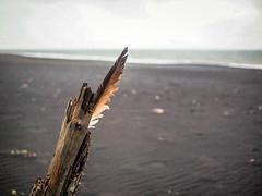 Driftwood and Feather (TheSimonBarrett) Tags: iceland lveldi sland beach vik