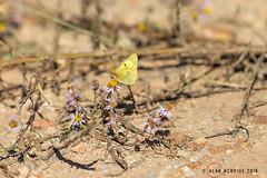 Berger's Clouded Yellow 1DX12857.jpg (alanmcbride1) Tags: butterflies occitanie aude languedoc bergerscloudedyellow france coliiasalfacariensis capestangmarsh butterfly