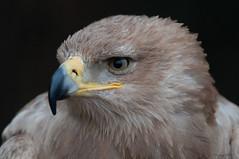 Tawny eagle-Aquila rapax. (PANDOOZY PHOTOS) Tags: tawnyeagle eagle eagles birdofprey bird raptor aquilarapax birds portrait closeup accipitridae accipitriformes animal animals homoiothermic endothermic africa wildlife nature african