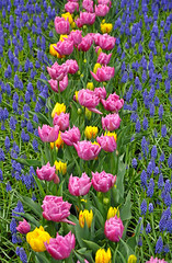 Pink and yellow tulips (Perl Photography) Tags: tulips flowers floral pink yellow garden spring nature blossoms hyacinth blue gardening botanical plants colorful beauty