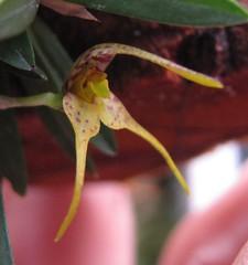 Dryadella sp AND/PR (Micro-orquídeas Roberto Martins) Tags: dryadella sp andpr pleurothallidenae micro microorquídeas mini orquídeas exposição orquidáceas galeria robertomicroorquideas robertoorquideas robertomicros permuta venda de coleção
