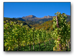 Weinberge am Alpenrand (HP-Fotografie) Tags: schweiz kanton stgallen weinberge alpen herbst lumixgx7