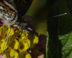 Butterfly_SAF9843-2 (sara97) Tags: butterfly flyinginsect insect missouri nature outdoors photobysaraannefinke pollinator saintlouis towergerovepark urbanpark copyright2016saraannefinke