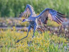 Flaps Up, Gear Down (Wes Iversen) Tags: bokehwednesdays brighton hbw kensingtonmetropark michigan milford sandhillcrane sandhillcranes tamron150600mm birds flowers grasses marsh nature water waterbirds wildlife