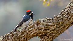 Acorn Woodpecker (Bob Gunderson) Tags: acornwoodpecker alamedacounty birds california delvalleregionalpark eastbay melanerpesformicivorus northerncalifornia woodpeckers