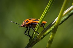 An inordinate fondness for beetles. (dmunro100) Tags: beetle colourful macro adelaide macromondays beatlesbeetles canon 80d eos canonef100mmf28lmacroisusm southaustralia botanics gardens