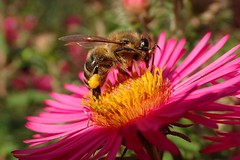 Successful (libra1054) Tags: bienen bees api abelhas abejas abeilles insectos insects insekten insetti insectes macro nature natur natura pink rosa ros giallo gelb jaune amarillo amarelo yellow outdoor