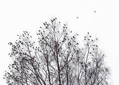 Rendez-vous dans l'arbre (sosivov) Tags: bird birds bohemianwaxwing bombycillagarrulus whitebackground trees autumn