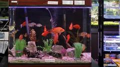 Aquarismo (srie com 5 fotos) (Parchen) Tags: aqurio aquarismo aqurios peixes ornamentais guadoce criao venda loja exposio coloridos variedade peixestropicais foto fotografia imagem registro parchen carlosparchen peixinhos dourados
