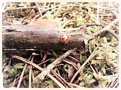 Enjoy the little things in life because one day you will look back and realize they were big things (martyna66637) Tags: mother nature flora leaf poland brown red moss green ladybug forest branches iphone apple polska natura przyroda matka liść brąz czerwony mech zieleń biedronka las gałęzie enjoy little things life because one day you will look back realize they were big