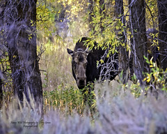 Playing Peekaboo With A 600lb. Cow Moose And Her Equally Large Calf, Jackson Hole Wyoming (Hawg Wild Photography) Tags: moose wildlife animal animals nature jacksonholewyoming grand teton tetons national park terrygreen nikon d810 70200mm vr hawg wild photography