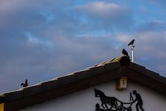 16-02-25 bw dross vog dach 2-3 nah dsc03821 (u ki11 ulrich kracke) Tags: 2mal3mal dach hahn krhe landwirt nah pflug rauhreif sonnenaufgang stilleben vogel