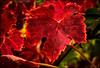 BLOOD RED . (TOYOGRACOR) Tags: plantas aplusphoto color flickrdiamond bej canon explore flickr fiore dof mygearandme mygearandmepremium mygearandmebronze mygearandmesilver godlovesyou desenfoque flickrflorescloseupmacros otoño rojo rojos mywinners sol follaje planta hoja brillante serenidad textura fotos cepas uva viña autumn rojas hojasrojas vid vinya hojas bloodred luz