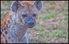 Spotted hyena, at dusk, on the slope going up to Mara West Camp. (stevebfotos) Tags: masimara maasaimara kenya hyena narokcounty ke