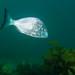 Yellowfin bream - Acanthopagrus australis