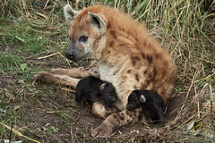 New life (K.Verhulst) Tags: hyena spottedhyena gevlektehyena pup pups blijdorp blijdorpzoo diergaardeblijdorp rotterdam hyenapups