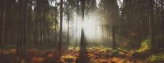 Into The Trees (Bokehschtig (ON/OFF)) Tags: raysoflight rays ray raysofgod godrays sunrays sunlight sunbeam sunrise trees treemendous forest wald autumn soil duff farn atmosphere sony sonya7 sonya7markii sonya7ii sigma sigmaart2414 pano panorama forestscape landscape bayern bavaria germany deutschland