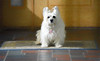 simple pleasure HSS (Dotsy McCurly) Tags: ruffy cute dog cairnterrier rug front door painted effect topaz happy sliders sunday hss dof light shadows nikon d750 nj photoshop