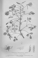 Darling Clover - New South Wales, The Mother Colony 1896 (AndyBrii) Tags: nsw newsouthwales 1896 frankhutchinson sydney