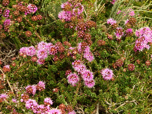William Bay National Park wildflowers (set of 4)
