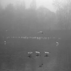 Three Little Birds (the underlord) Tags: 250asa kodakd76 6minutesatstock nikons3 nikons32000 rangefinder wnikkorc35cmf35 wideangle gulls frozenlake liverpool film filmcamera nikons32k feeding ice lake park walking croppedsquare