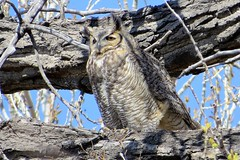 Great Horned Owl (Patricia Henschen) Tags: chicobasinranch colorado coloradosprings ranch bird greathornedowl raptor owl headquarters