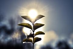 Manchmal . . . (HvidLiljer (Yvonn Lizzy Brun)) Tags: sonnenblume sonne 50mm canoneos400d closeup hvidliljer
