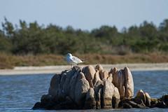 Sea gull (jan.stefka) Tags: canoneos7d italie italy sardegna stagnodisanteodoro 2016 sardinie