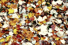 Images-of-late-fall--DSC_6179 (mbgmbg) Tags: apxgeotag boost desaturate fall fallfoliage kw2flickr kwgooglewebalbum kwphotostream5 kwpotppt leaves series seriesfallfoliage16 takenbymarkgerstein