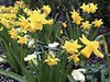 The Herald of Spring (jchants) Tags: 116in2016 daffodils nurseryrhyme yellow flowers blooms blossoms spring 82illustrateanurseryrhyme