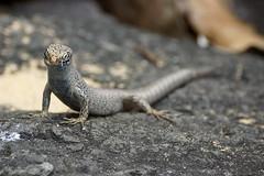 Lagastista (dotcomdotbr) Tags: fernando noronha sony a77 rptil lagarto lagartixa sal55300