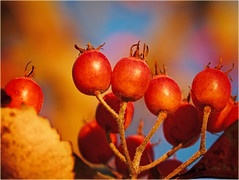 Red winter fruits (Ostseeleuchte) Tags: winterfruits colorful red sunshine fruitsatthebalticsea bluesky winterfrüchte rot macro makro treefruits baumfrüchte natur nature dezember rotefrüchtchen