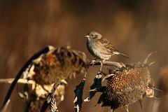 Dunnock (moments in nature by Antje Schultner) Tags: dunnock bird heckenbraunelle vogel wildlife sunflower sonnenblume naturschutzgebiet 2016