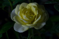 IMG_0044 December Rose (oldimageshoppe) Tags: miniaturerose blossom flower yellow studiolights