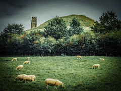 Vintage Pastoral (Colormaniac too (trying to catch up)) Tags: landscape peaceful vintage countryside pastoral glastonburytor stmichaelschurchtower somerset uk england travel sheep pasture grazing topazimpression topaztextureeffects topazglow
