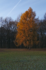 Last Tree Standing (orellgarten) Tags: berlin germany deutschland tiergarten park yellow gelb baum tree wiese herbst kalt fall grass cold autumn