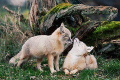 Corsac foxes (Michal Jeska) Tags: corsac fox fuchs steppenfuchs vulpes korsak canonef400mmf56lusm explored canon 400mm 56 l