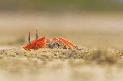 Cangrejo fantasma II (trebol_a) Tags: playa arena cangrejos crustaceos invertebrados